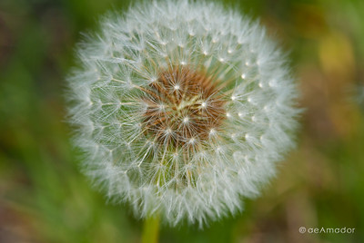 """""""The Dandelion"""" _DSC0018aeamador©-MDSC"""