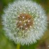 """""""The Dandelion""""<br /> _DSC0018aeamador©-MDSC"""