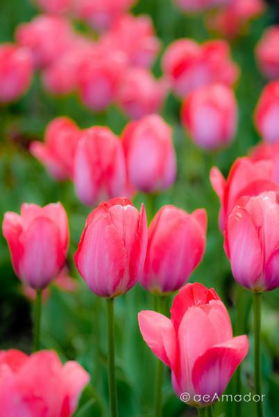 """""""Tulips!""""<br /> _DSC0074aeamador©-MDSC"""