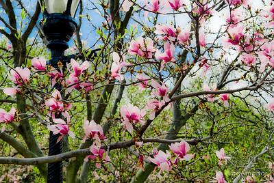 """The Magnolias"" _DSC0320aeamador©-MDSC"