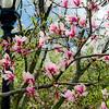 """""""The Magnolias""""<br /> _DSC0320aeamador©-MDSC"""