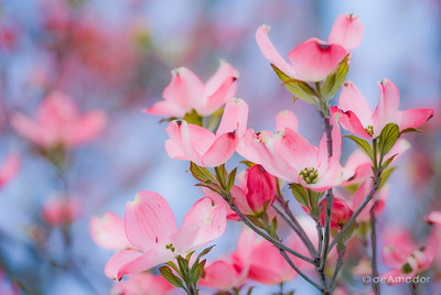 """The Dogwood-Pink"" _DSC0076aeamador©-MDSC"
