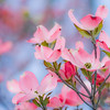 """The Dogwood-Pink""<br /> _DSC0076aeamador©-MDSC"