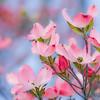 """The Dogwood-Pink""<br /> _DSC0076aeamador©-MDSC"