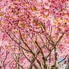 """""""Kwanzan Cherry Tree""""<br /> _DSC0088aeamador©-MDSC"""