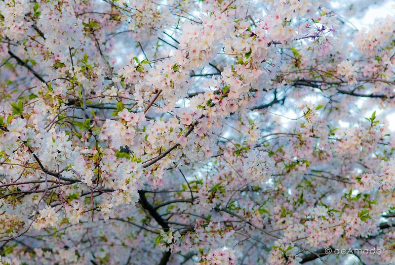 """The Cherry Blossom""<br /> _DSC0005aeamador©-MDSC"