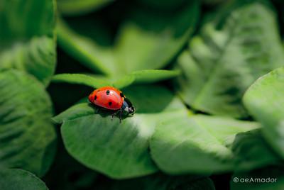 """""""The Lady Bugs"""" _DSC0168aeamador©-MDSC"""