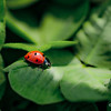 """The Lady Bugs""<br /> _DSC0168aeamador©-MDSC"