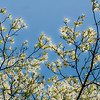 """Dogwood Wallpaper""<br /> _DSC0293aeamador©-MDSC"
