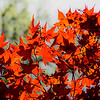 """The Japanese Maple""<br /> _DSC0298aeamador©-MDSC"