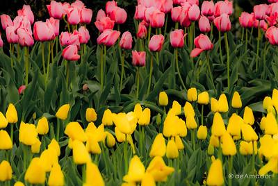 """Tulip Flavors"" _DSC0028aeamador©-MDSC"