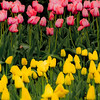"""Tulip Flavors""<br /> _DSC0028aeamador©-MDSC"