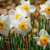 """""""Daffodils""""<br /> _DSC0143aeamador©-MDSC"""