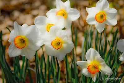 """""""Daffodils"""" _DSC0143aeamador©-MDSC"""