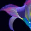 Neon Daylily 1