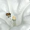 jimson weed(datura stramonium)& bee carrying pollen