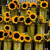 sunflower, sunflower, sunflower all