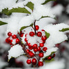 Holly, snow
