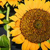 summertime_sunflowers_Indiana