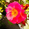 Backlit Pink Rose
