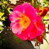 Backlit Pink Rose