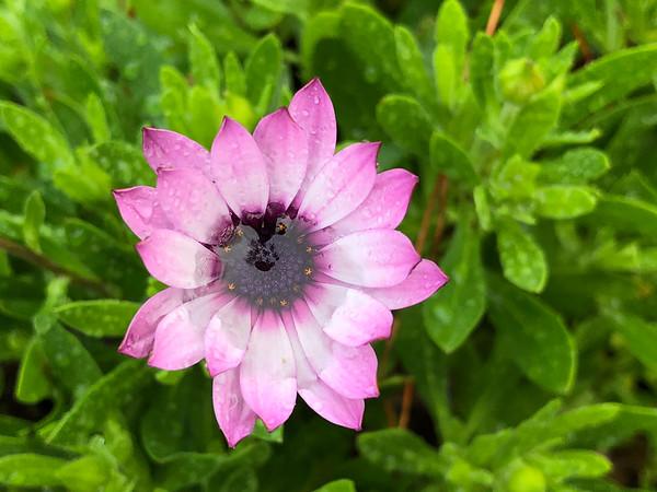 Purple flower rain puddle