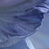 Crinoline bleue