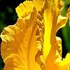 Pétale d'iris