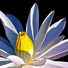 Coeur de Lotus