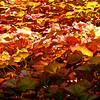 Lierre en automne