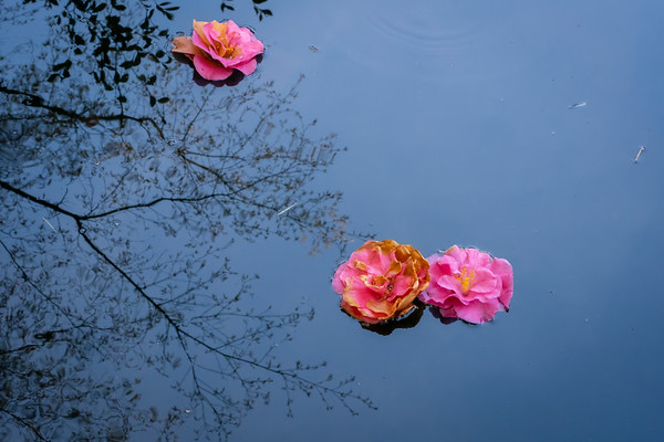 Floating Camellia Blossoms