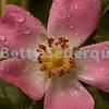 Pink Rose and Rain