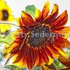 A Bee Alights on Sunflower