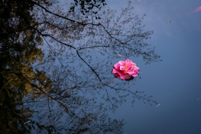 Floating Camellia Blossom