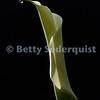 Calla Lily, Lotus, California