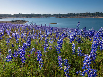 Lupines at Folsom Lake