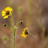 Tarweed Reaches for the Sun