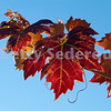 Grape Leaves of Many Colors