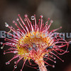 Carnivorous Sundew Plant
