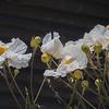 White Poppies, Stewarts Point