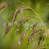 Raindrops Decorate Grass