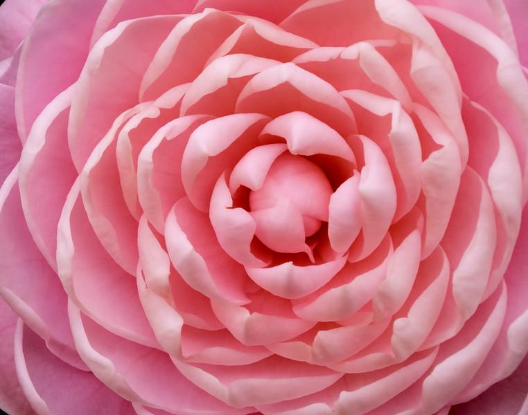 Heart of a Camellia