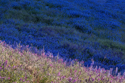Light and Dark Lupines
