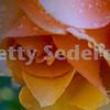 Perfect Orange Rose