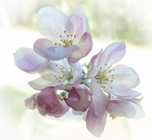 Apple Blossoms II