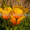 California Poppy, Point Reyes