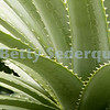 Aloe Plant, Seattle Arboretum