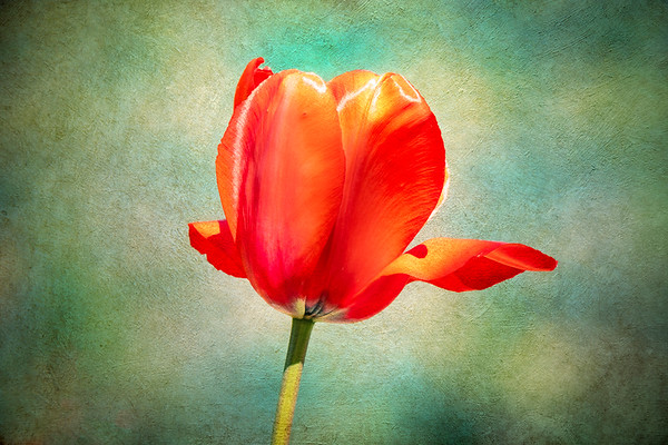Tulip with Textured Background