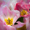 Painterly View of Tulips