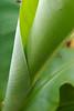 Rolled Banana Leaf